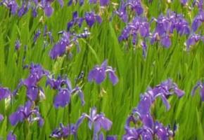 杜若の花『日本の色辞典』より