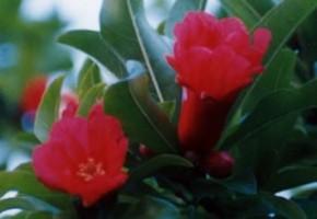 染司よしおか工房の庭に咲くザクロの花