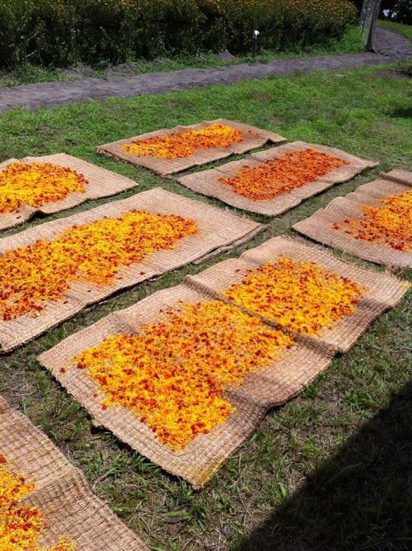 紅花の乾燥