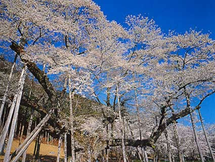 岐阜県根尾谷の淡墨桜