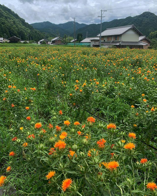 伊賀上野・榮井農園さんの紅花・2020年7月